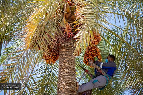 توزیع خرمای درختان بینالحرمین میان زائران عزادار / گزارش تصویری
