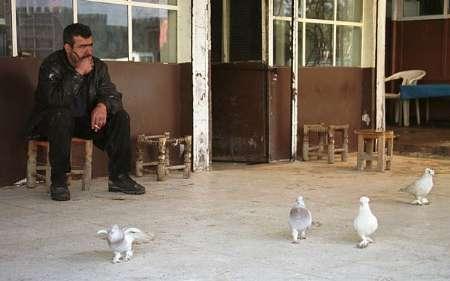 ممنوعیت پرورش کبوتر توسط داعش